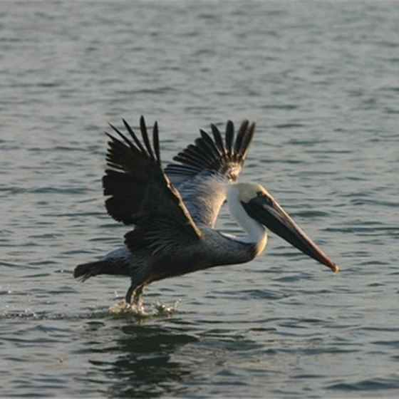 Pelicans are a common site in Tampa Bay.