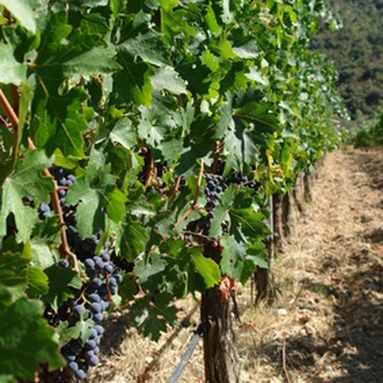 French vineyards offer volunteer experiences.