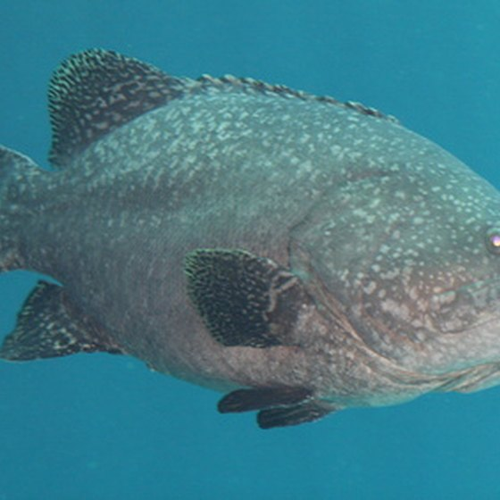 Egmont Key is known for its grouper.