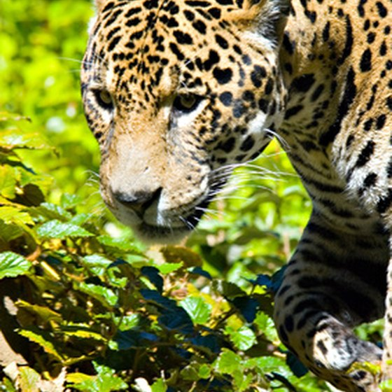 While exceptionally powerful, the jaguars of New World rain forests rarely bother people.