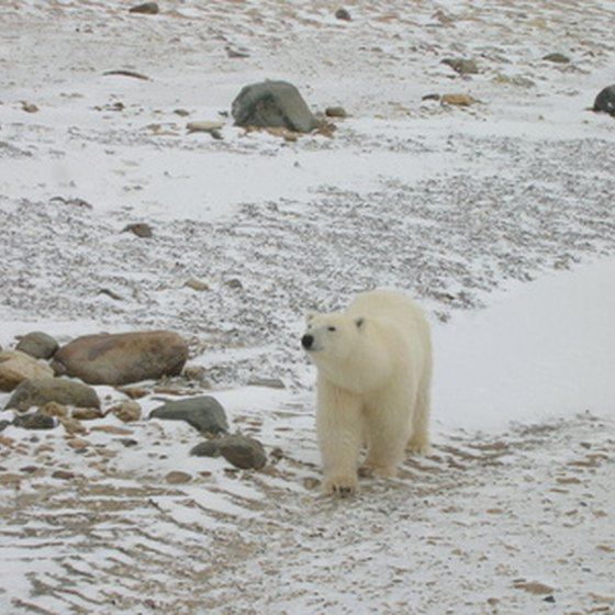 A polar bear in Churchill, Manitoba.