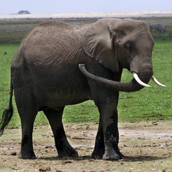 Elephants are among the major game species in Kenya.