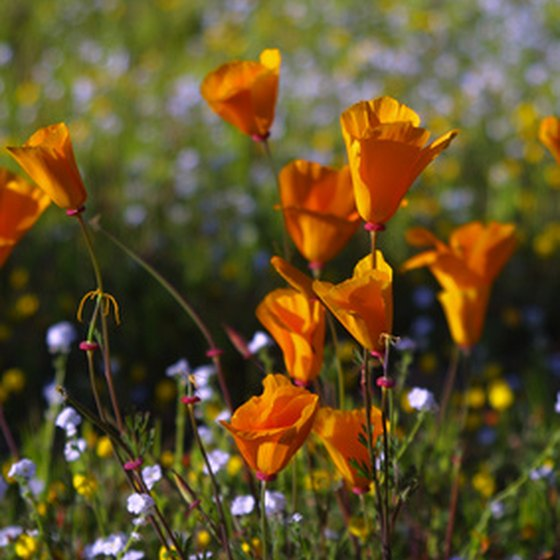 The poppy is California's official state flower.