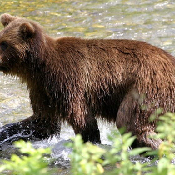 Alaska wilderness tours may include grizzly bear viewing.
