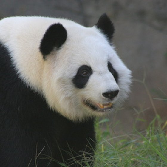 "See delightful Giant Pandas during Adventure Center's 10-day ""Kung-Fu & Pandas"" tour of China."