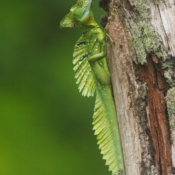 Iguanas may be spotted in the Palo Verde National Park.