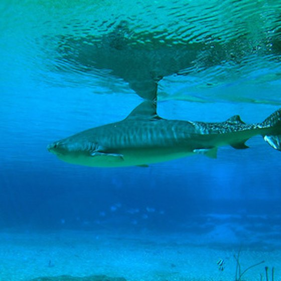 Tiger sharks are among the world's most dangerous creatures.