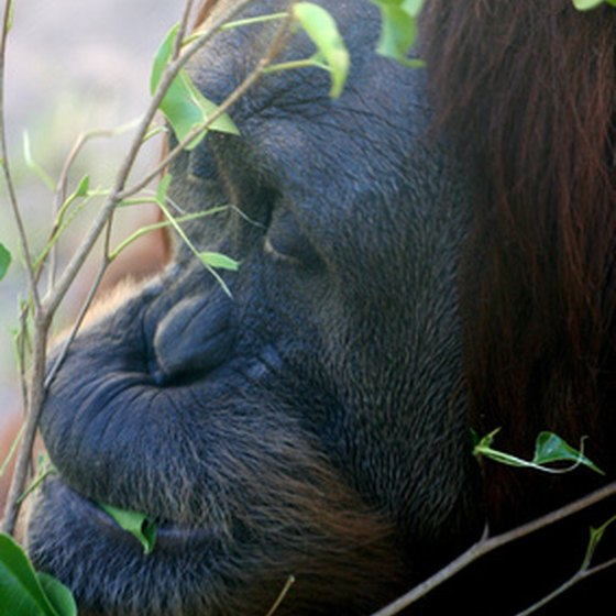 Orangutans are part of Gunung Leuser's wildlife experience.