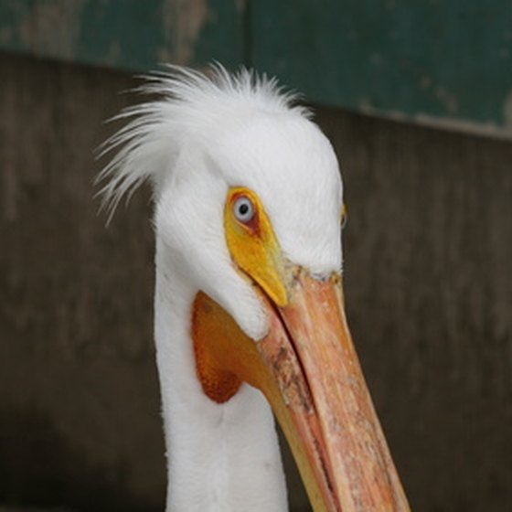 White pelicans have a colony at the park.