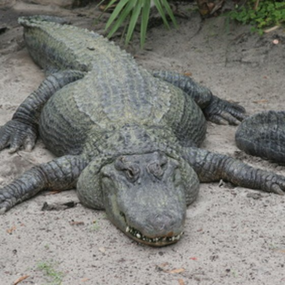 Some local outdoor attractions in Orlando offer the chance to observe native Florida wildlife.