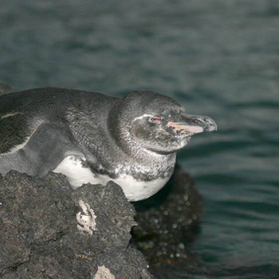Penguins are just one of the creatures of the Galapagos.