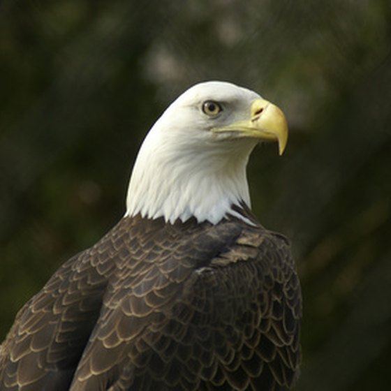 The Bald Eagle is among the 640-plus bird species regularly seen in California.