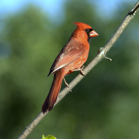 The northern cardinal, also the West Virginia state bird, is a common sight all year round.