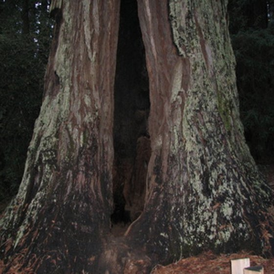 You can walk inside many redwoods along Northern California's coast.