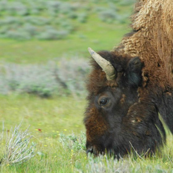 Bison still roam the prairie in South Dakota.