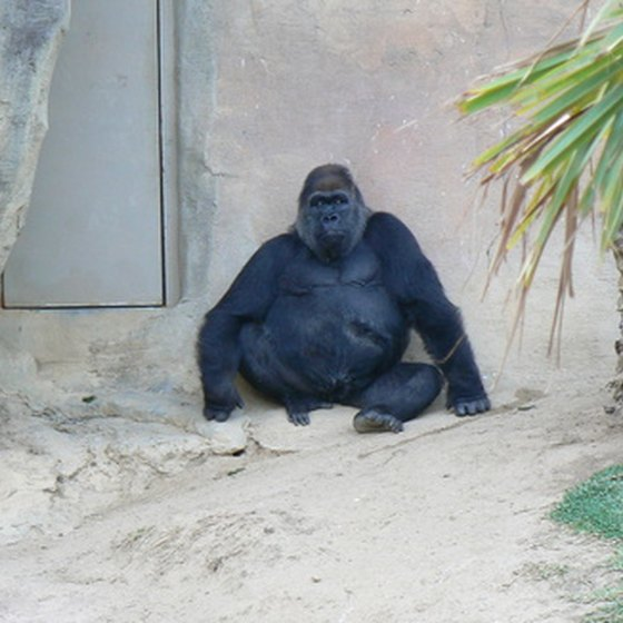 Gorillas have their own habitat at the Henry Doorly Zoo.