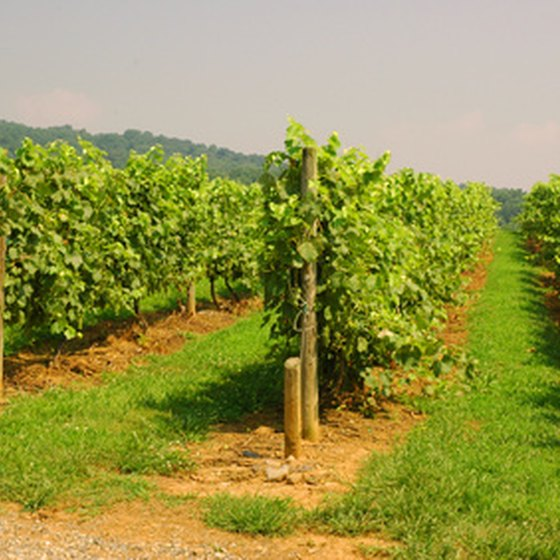 Walking among the vines is part of many winery visits.