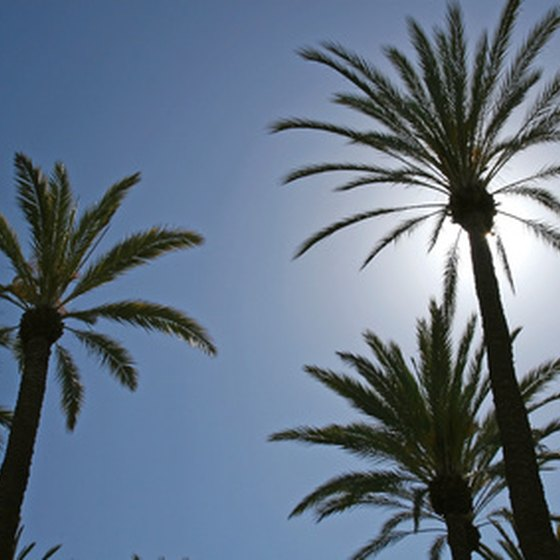 Beautiful palm trees are abundant in Palm Springs.