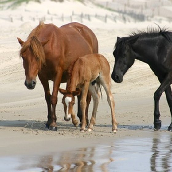 Wild ponies are a main attraction on Chincoteague Island.