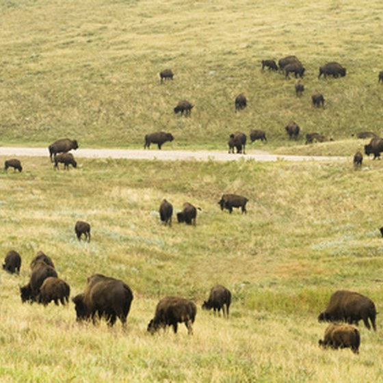 Herds of bison roam Custer State Park.