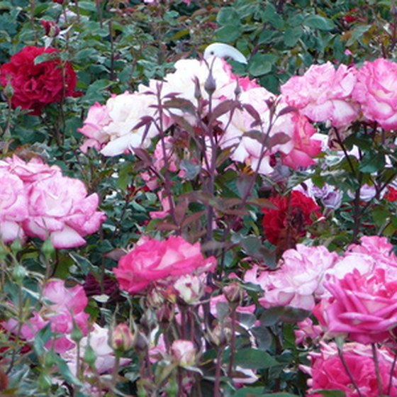 the princess grace rose garden - Pictures Of Rose Gardens