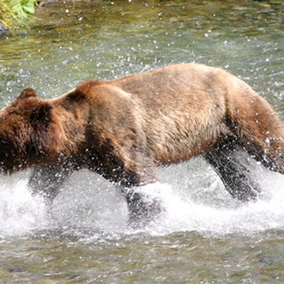 Many American national parks are famously associated with wildlife like brown bears.