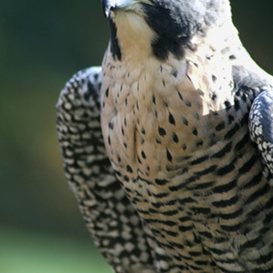 Falconry dates back to 6000 B.C. and is popular in Florida.