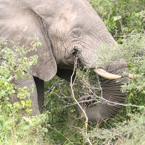 Weighing up to 7 tons, the African elephant is a major draw for ecotourists in Africa.