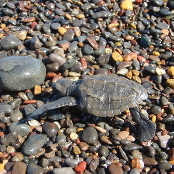 Newly hatched sea turtles make their way to the ocean from July through October.