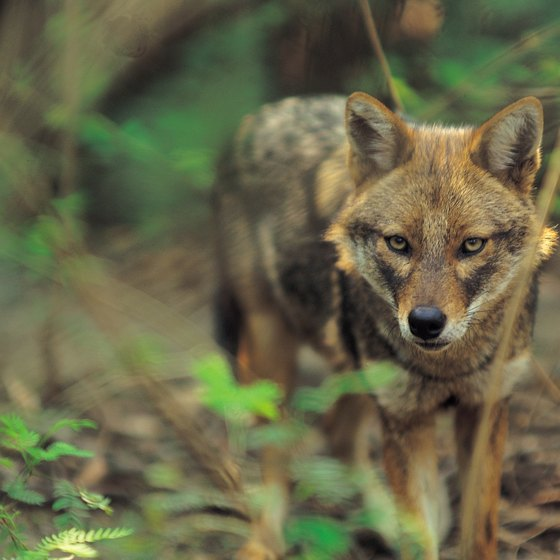 Visitors to some Texas zoos can view red wolves.