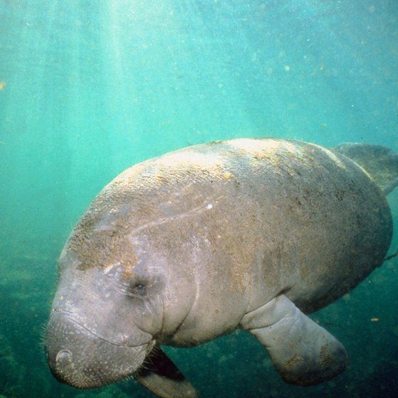 Manatees sometimes can be seen in the Sebastian Inlet.
