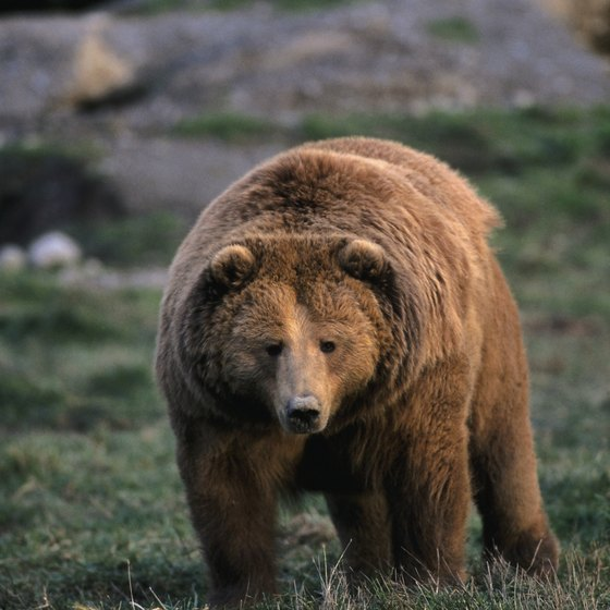 You may get lucky and spot one of Kodiak Islands' large grizzly bears.