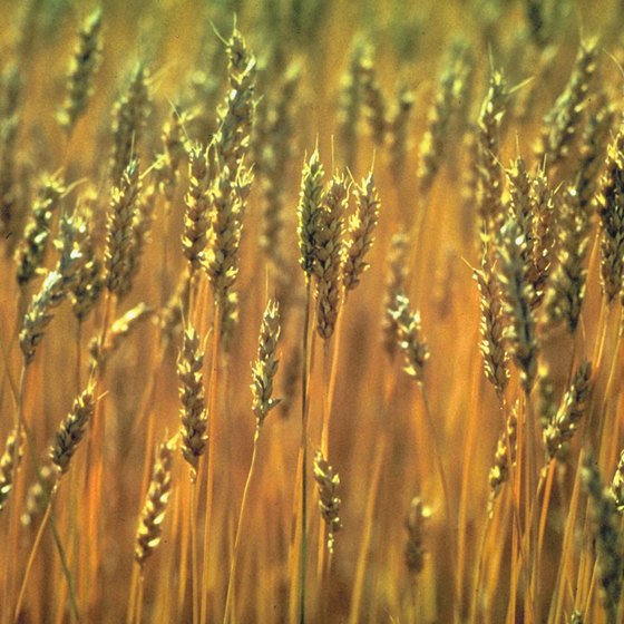 Wheat is the primary crop surrounding Dayton.