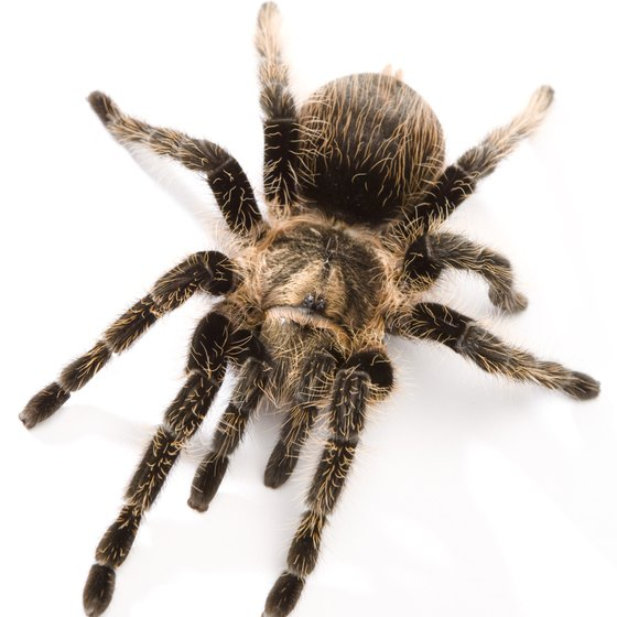 The tarantula is known as a baboon spider in Africa.