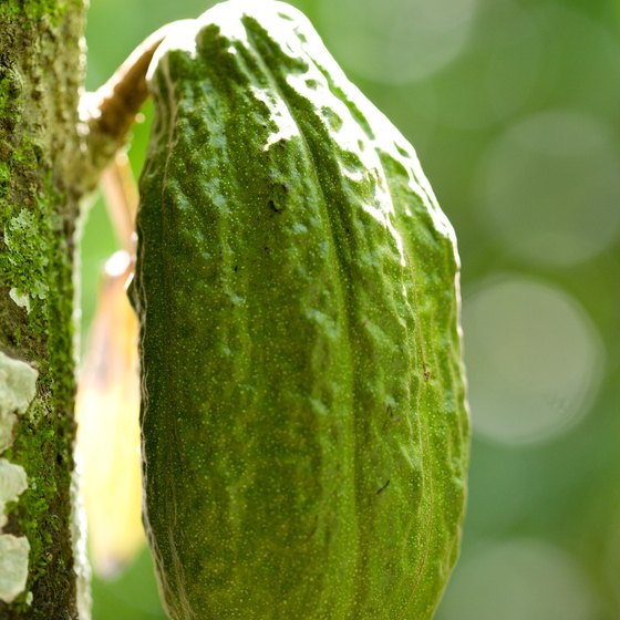 Learn the history of the cacao bean on a Costa Rican chocolate tour.