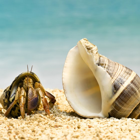 Have fun catching hermit crabs on New England's beaches.