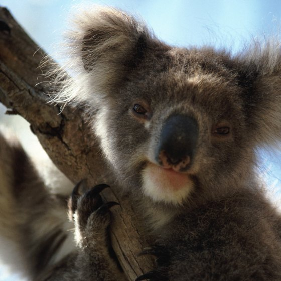 Koalas are native to Australia; spot them at Australia's nature reserves and zoos.
