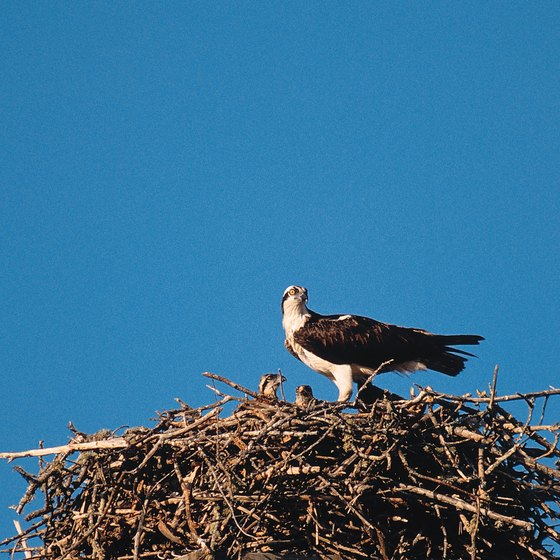 Osprey and many other birds often nest on the shores of Marco Island.