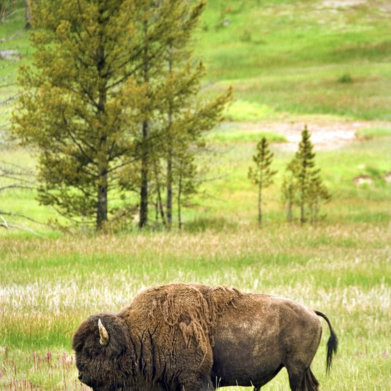 Over 4,200 bison live in Yellowstone National Park.