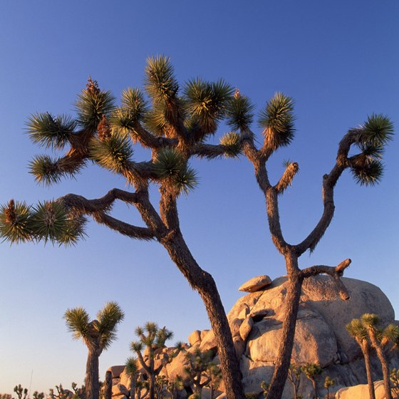 The natural range of Joshua trees lies not far from Desert Hot Springs.