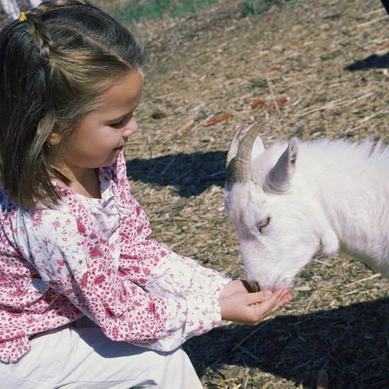 A typical petting zoo features goats and other farm animals.