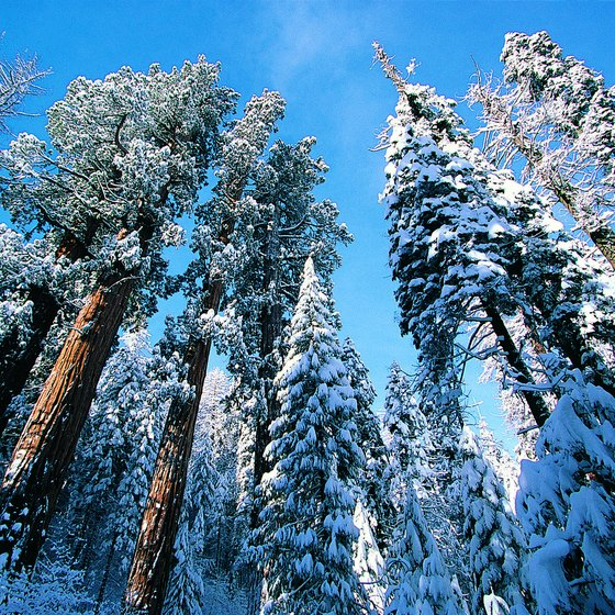 Play in the snow under giant redwoods in Sequoia National Park.