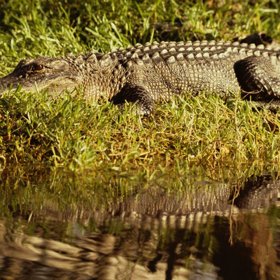 Alligators can be seen in the waters near and on Jekyll Island.