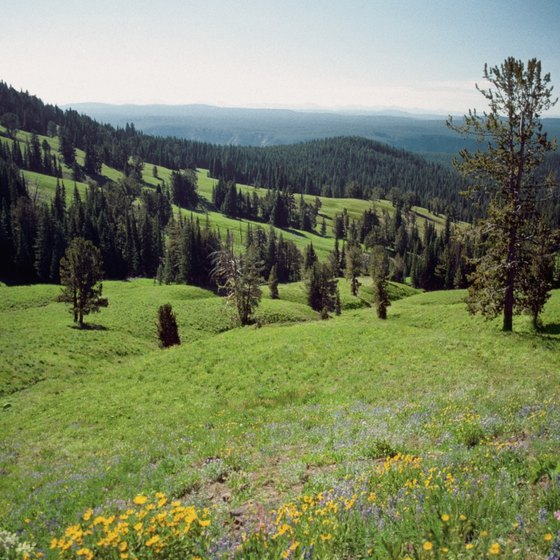 Late summer is the busiest time to appreciate Yellowstone's wildflower-covered meadows.