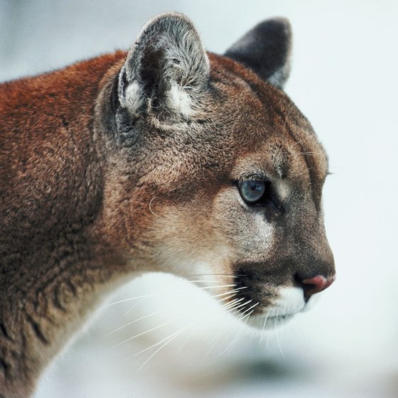 Mountain lions inhabit the area around Shasta Lake.