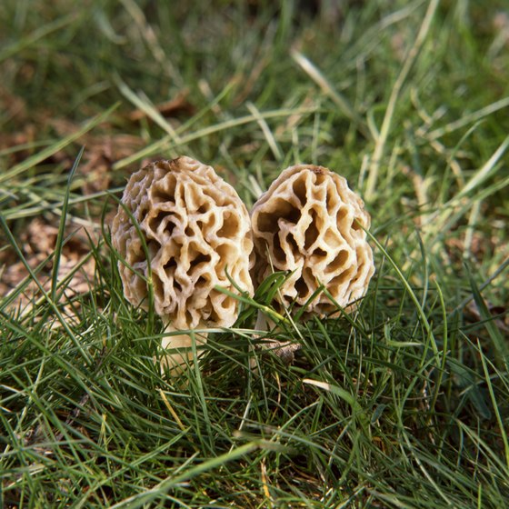 Morel mushrooms emerge from Wisconsin woodlands in springtime.