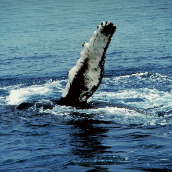 Spotting humpback whales is an added delight of a Gabon safari, in season.