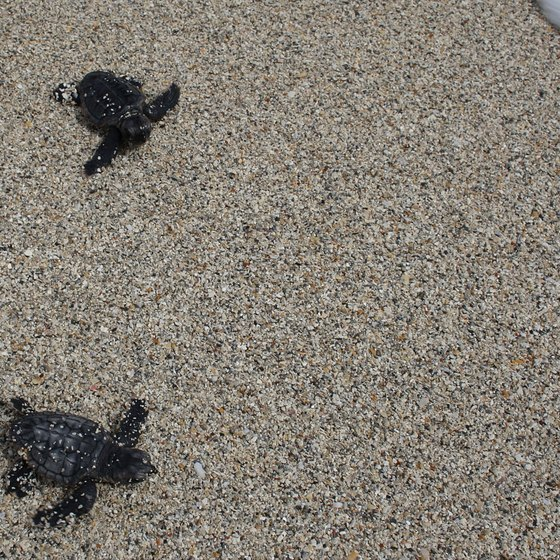 Loggerhead turtles nest at Pea Island, North Carolina.