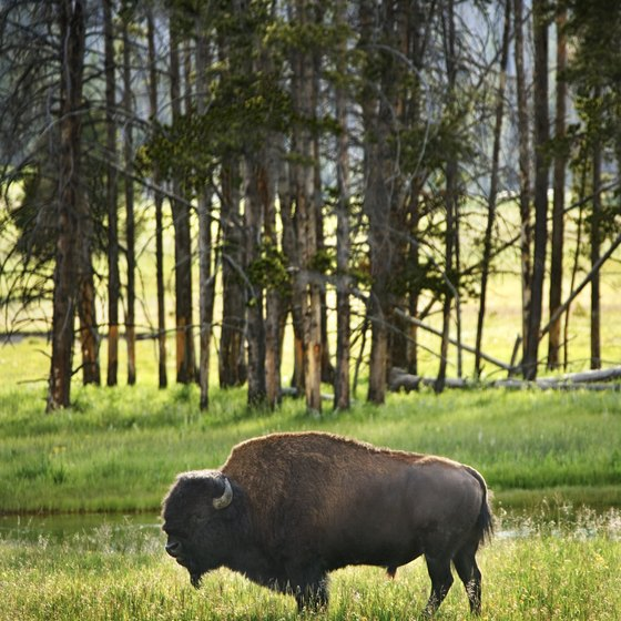 Buffalo once covered the Great Plains, giving pioneers plenty to look at as they traveled west.