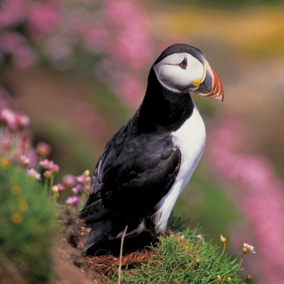 Bring your binoculars to view puffins on a nearby island.